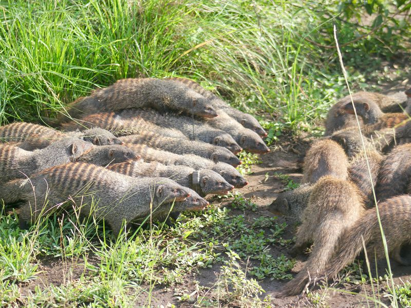 Banded mongoose fight