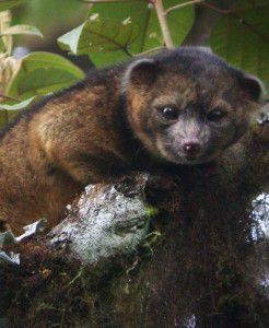 The elusive olinguito was finally given its species due in August.