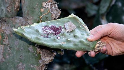 Cochineal Coloring: Is That a Bug in Your Food?