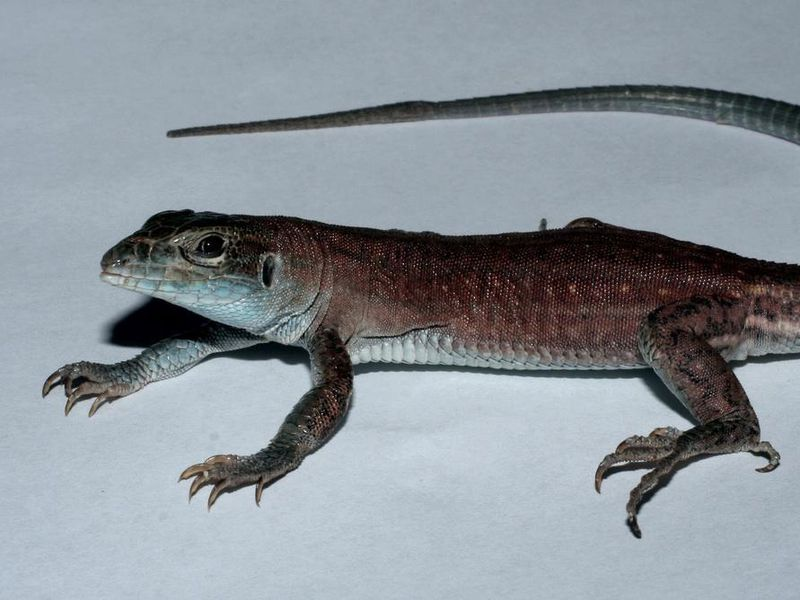 This New Lizard Species Evolved in a Lab | Smart News | Smithsonian