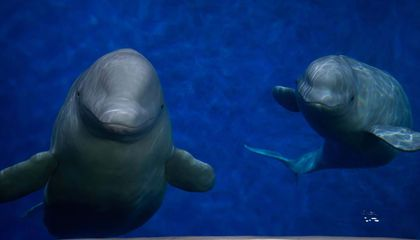 Two Captive Beluga Whales Are Heading to First-Of-Its-Kind Sanctuary in Iceland