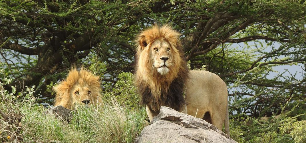 Male lions on the watch. Credit: Smithsonian Journeys Expert Kirt Kempter