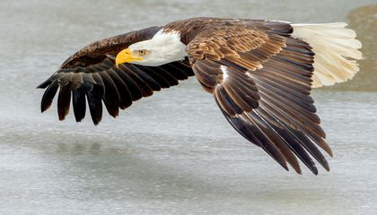 Bald Eagles 'Like to Loaf Around' at Airports, and That's a Hazard