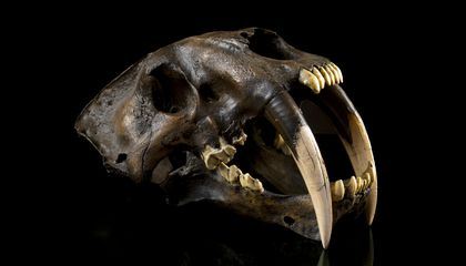 How Did Sabercats Use Those Outlandish Fangs?
