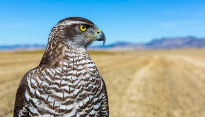 New Proof That Ancient Egyptians Bred Birds of Prey