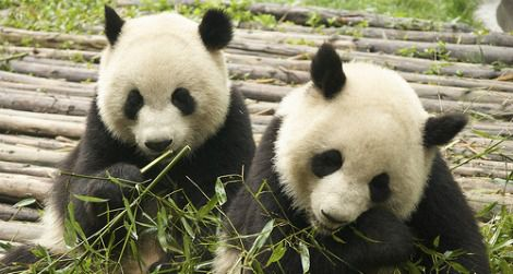 Pandas munch on bamboo for most of the day.