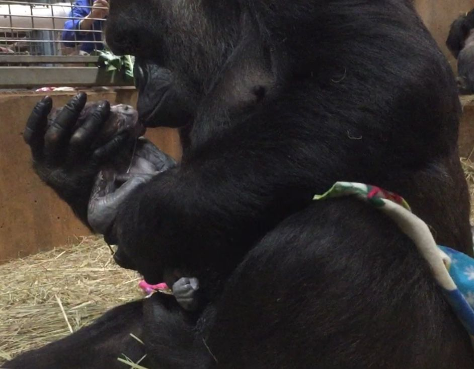 First Infant Gorilla Born At The Zoo In Nine Years Watch A Video Of