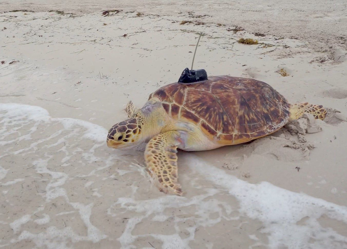 Rare Hybrid Hawksbill-Green Sea Turtle Released in Florida