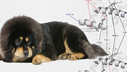 Wolves Gave Tibetan Mastiffs Their Mountaineering Genes