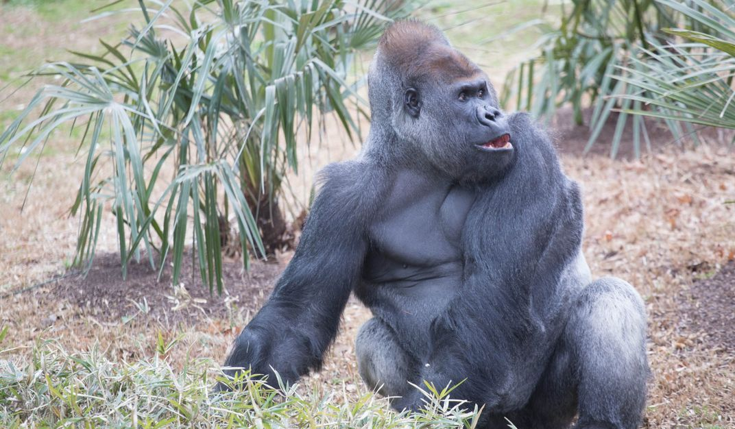 A large male silverback western lowland gorilla sits in a grassy yard near plants and looks off to his left.