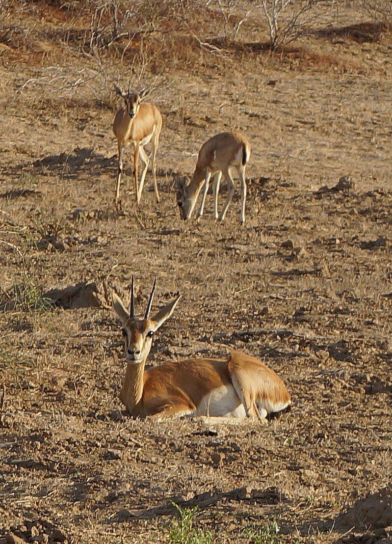 Chinkara gazelles in Bishnoi area (Doranne Jacobson)