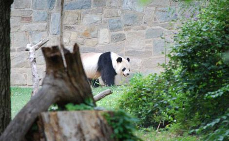 pandas at the Zoo