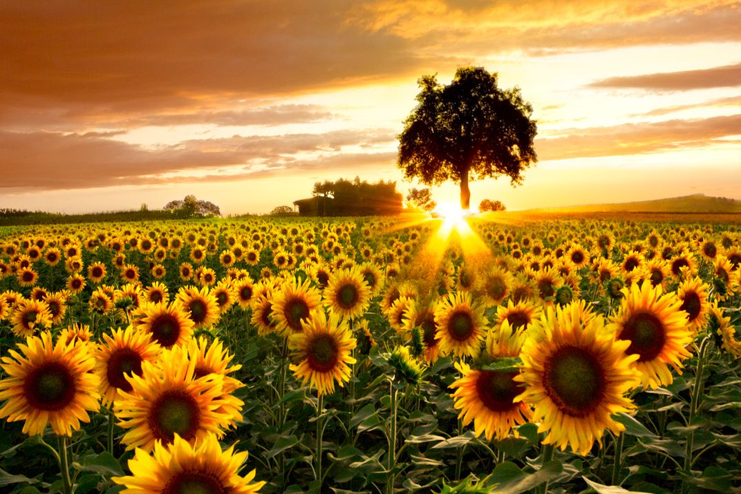 Fields of Gold: A big Sunflower Field at Sunset in ...