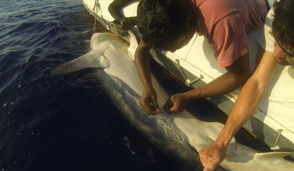 A scientist tags a shark near La Réunion, as part of a three-year effort to identify why sharks near this island are more likely to attack humans than in neighboring places.