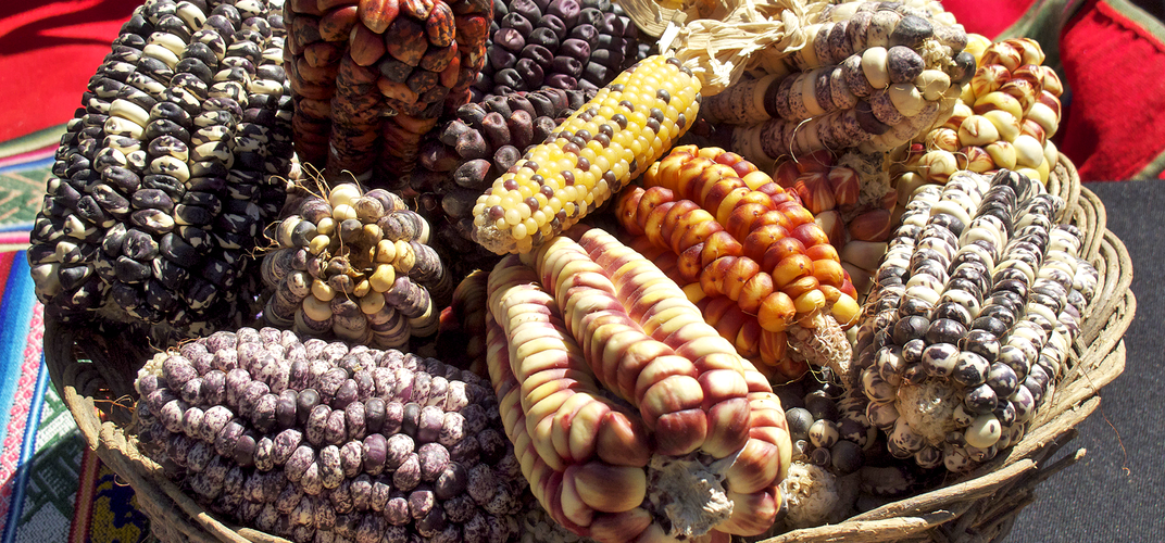 A basket of Peruvian or Cuzco corn