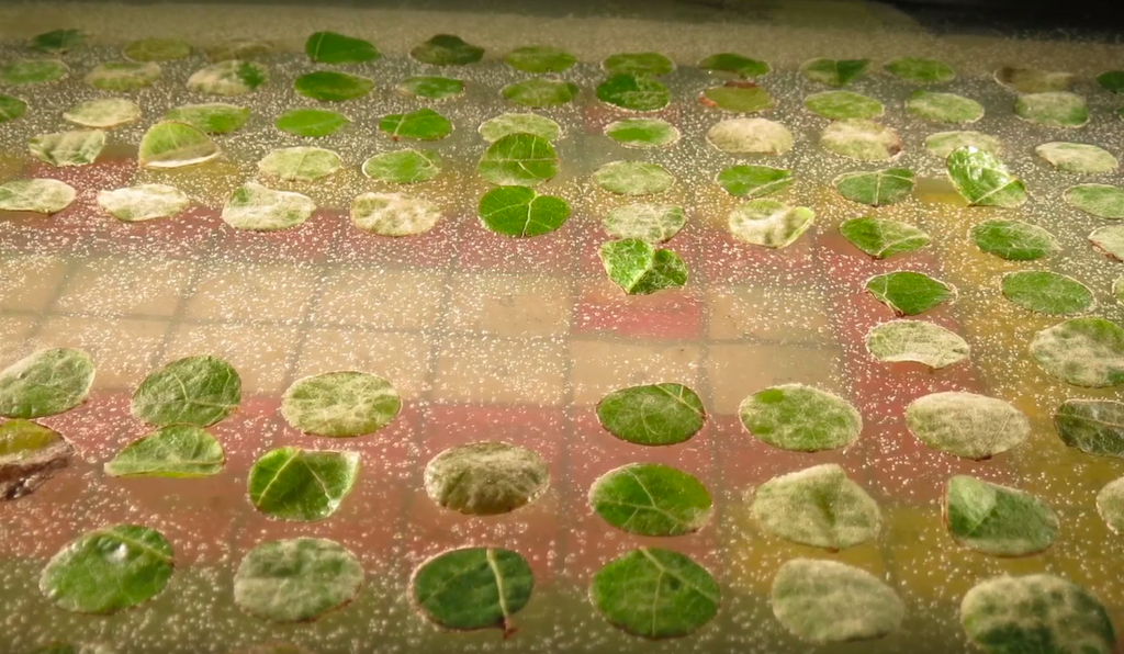 Leaf samples from different grapevines being tested at Cornell University for natural resistance to Downy Mildew, as part of the VitisGen project.