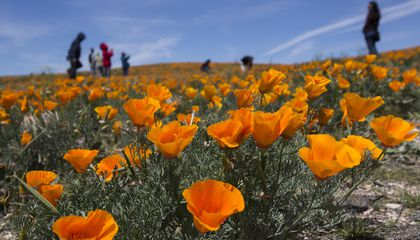 Photos: Southern California Bursts into Color as California Poppies Take Over Hillsides