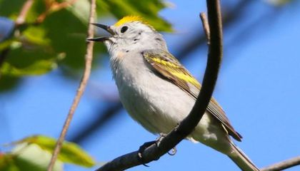 This Rare Warbler Is Three Species in One