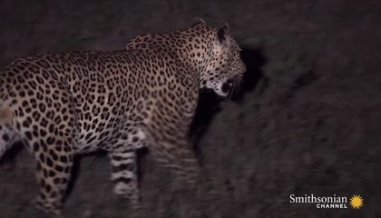 Two Leopards Battle, But Only One Can Survive