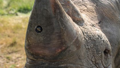 How Technology May Help Save the Rhino From Extinction