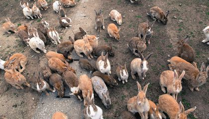 The Dark History of Japan's Rabbit Island