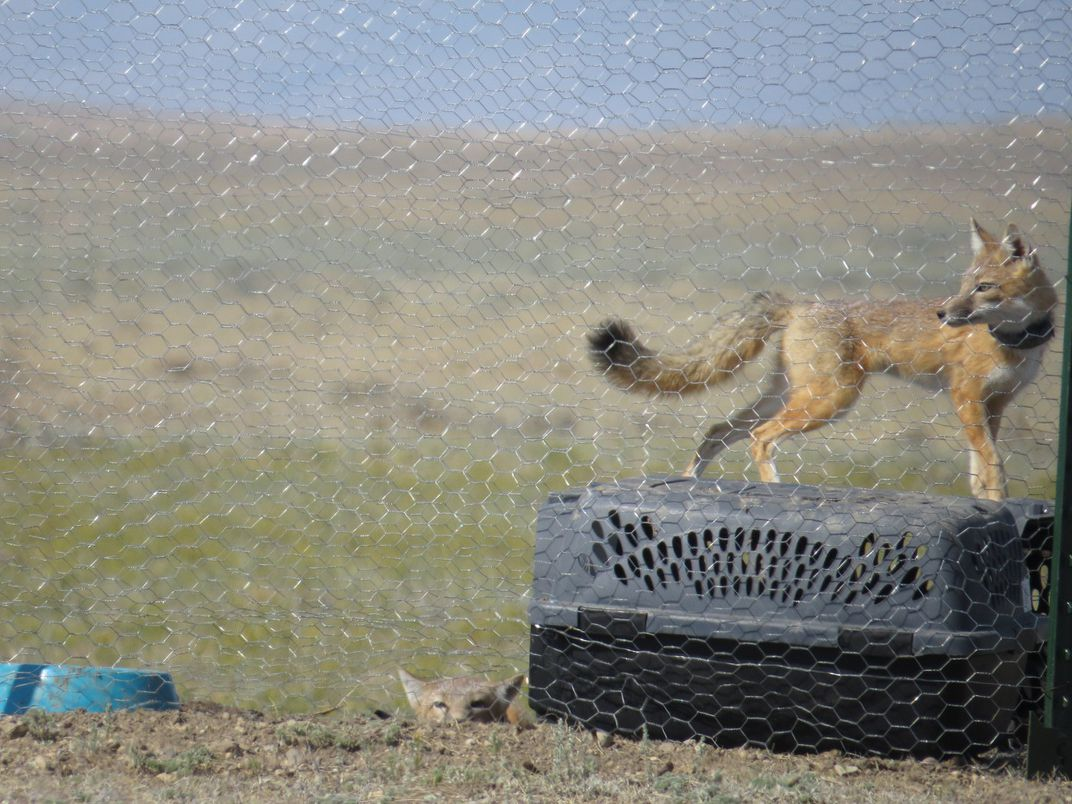 Two small swift foxes inside their soft-release pen at Fort Belknap Indian Reservation. The fox on the right stands on a small crate and is wearing its GPS collar. The fox on the left pokes its head out of a burrow in the ground.