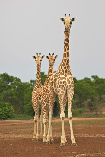 c33ced540880f Numbering about 175, giraffes of the peralta subspecies live only in Niger,  ranging in unprotected habitat that is shared with rural farming  communities, ...