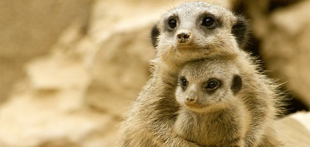 """Please don't hurt my baby!"" this mother meerkat may say to her murderous female superiors."