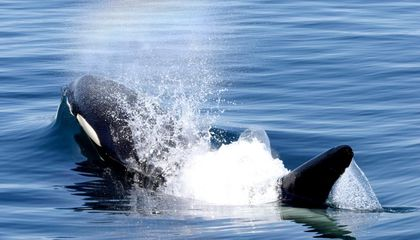 Crafty Killer Whales Are Harassing Alaskan Fishing Boats
