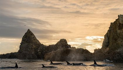 A Tale of Two Killer Whales