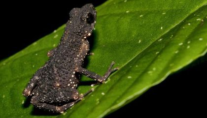 Australian Reptiles And a Toad Named After Gollum on Latest Endangered Species Update