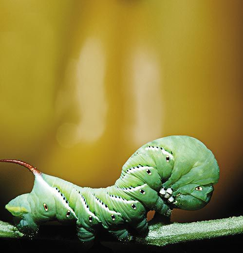Caterpillars appear to walk in a wavelike motion
