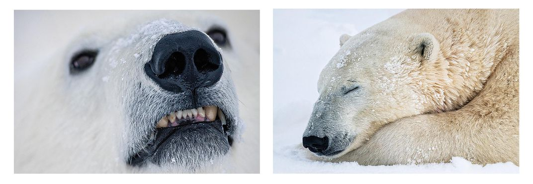 Polar Bear Faces Diptych