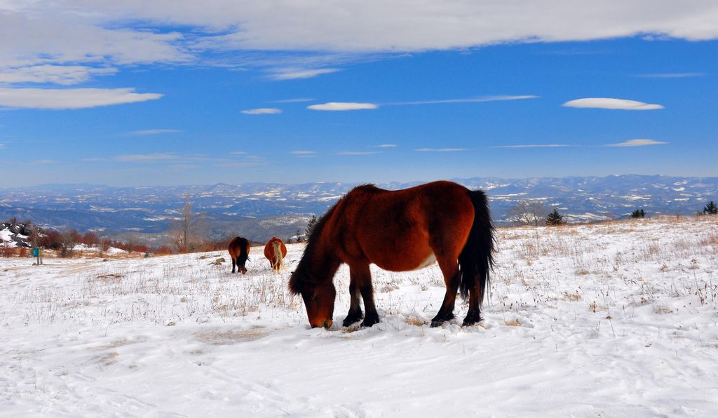 Ponies graze in the snow near the Appalachian Trail in Grayson Highlands State Park.
