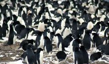 Adélie Penguin Super-Colony Found