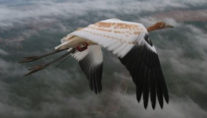 Nurture, Not Nature: Whooping Cranes Learn to Migrate From Their Elders