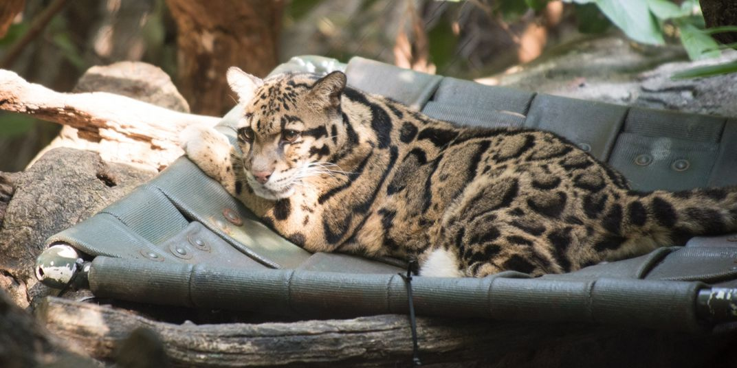 Clouded leopard Mook lounges in the sun on a hammock made of recycled fire hoses in her yard at the Smithsonian's National Zoo.