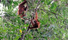 A Newly Discovered Orangutan Population on Borneo