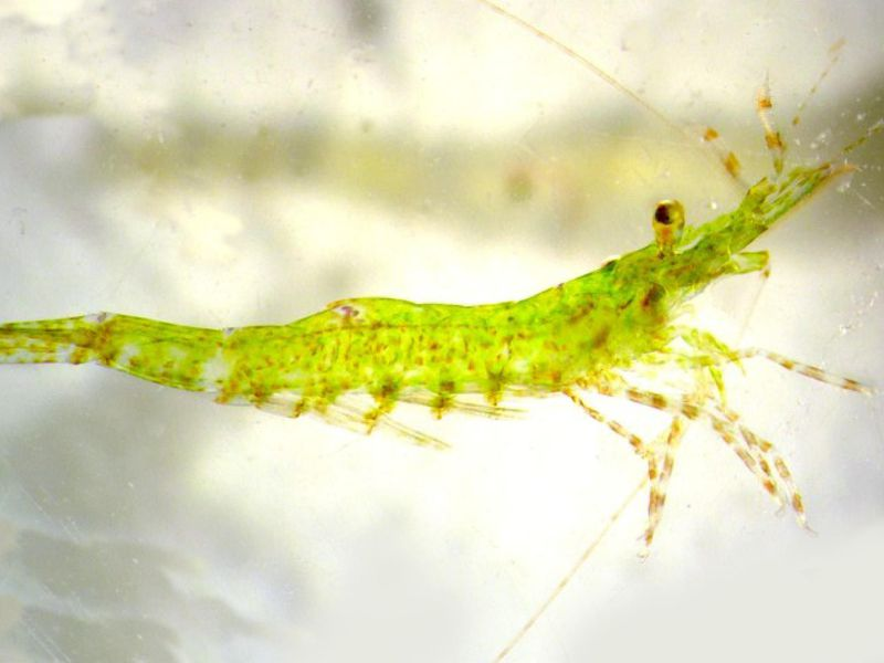 Newborn Shrimp Often Undergo Sex Reversal, but Ocean Acidification Could Disturb That Natural Process