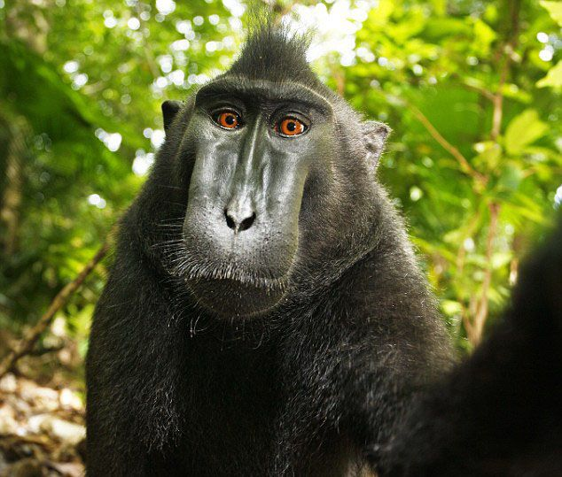 Monkey does not own rights to selfie