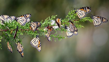 Your Butterfly Photos Could Help Monarch Conservation
