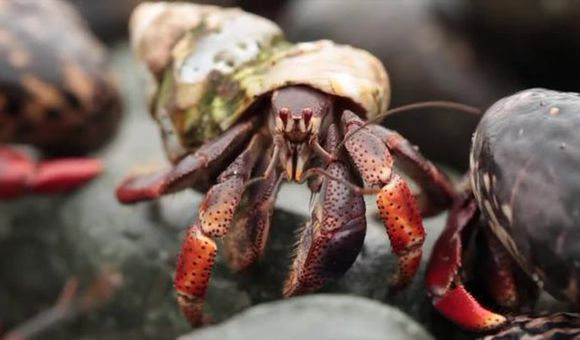 Preview thumbnail for video'Epic Hermit Crab Migration