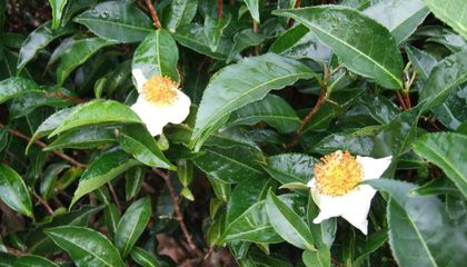 Researchers Read the Genome in the Tea Leaves