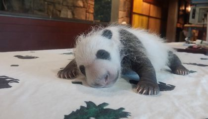 The National Zoo Wants Your Cutest Panda Cam Photos