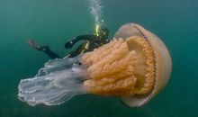 Divers Encounter a Human-Size Jellyfish Off the Coast of England