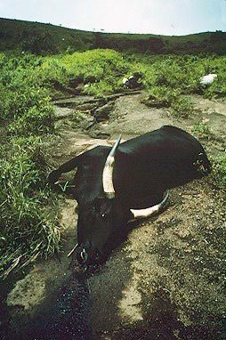 Cattle suffocated by carbon dioxide from Lake Nyos