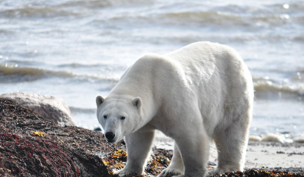 This habitat protection helps polar bears and the people who rely on the same ecosystem.