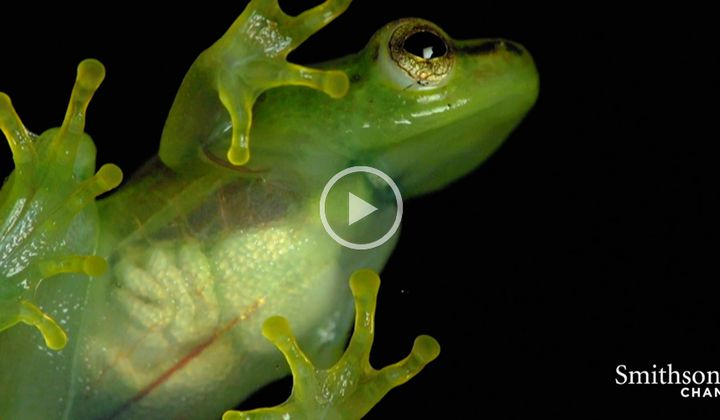Glass Frog's Heart Visible Through Its Skin