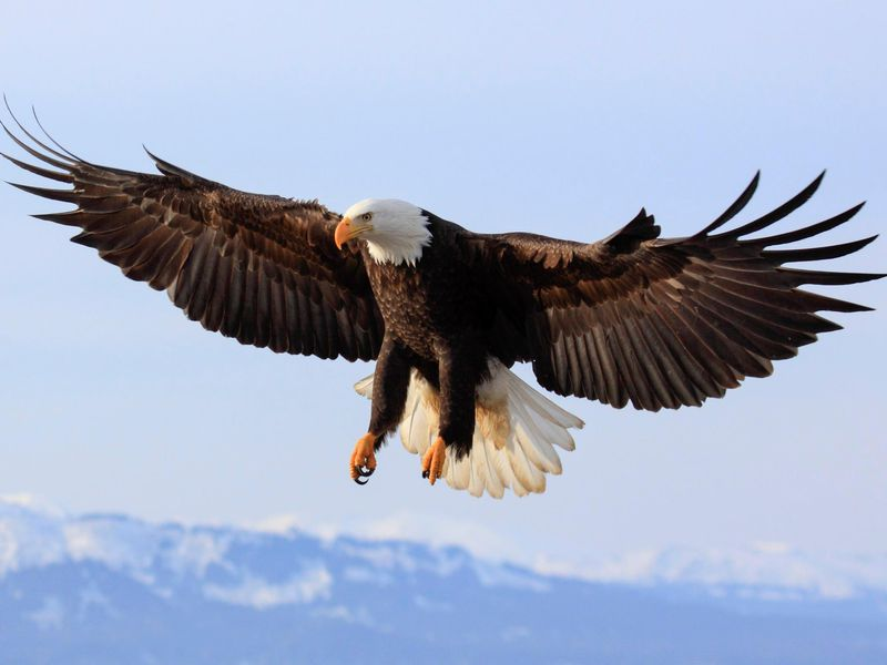 what killed 13 bald eagles in maryland smart news smithsonian
