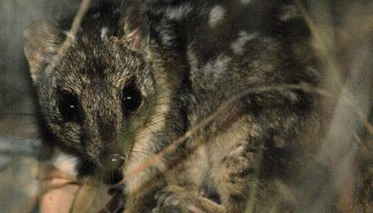 Can Scientists Save an Endangered Marsupial by Breeding Out Its Taste for Poisonous Toads?